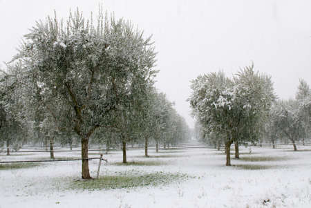 olive grove in the snowy storm photo