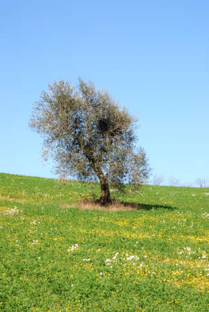 olive tree isolated on the hill photo