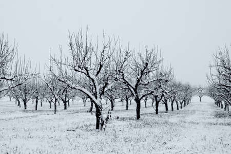 orchard covered by snow in jenuary photo