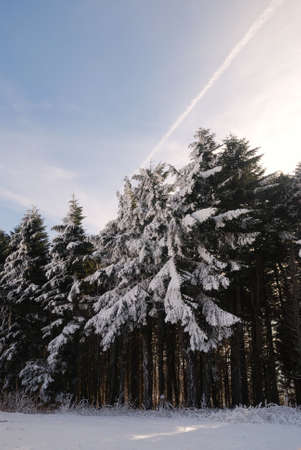 pine covered by white snow Stock Photo - 9792953