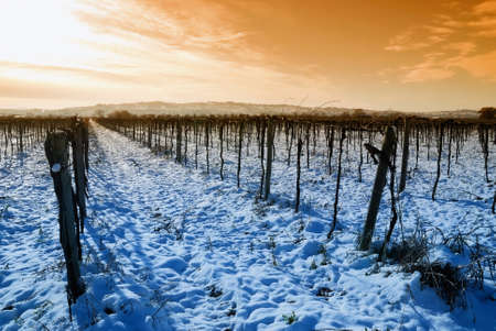 cool sunrise on the vineyard in winter photo