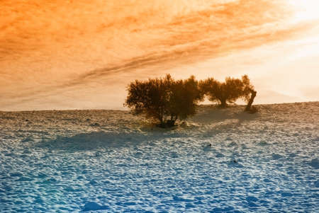olive tree isolated in snowy field in the morning photo