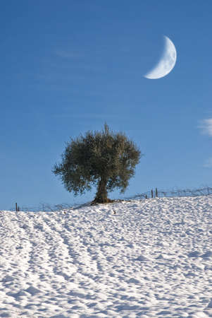 coutryside: moon over olive tree in winter with snowy coutryside