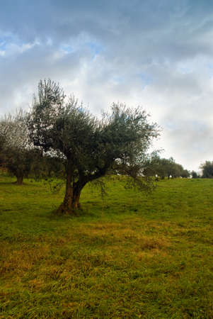 olive tree isolated in the green photo