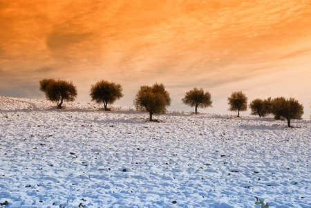 olive trees in winter on the snowy hill photo