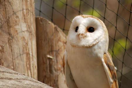 envoronment: isolated barn owl inside the aviary Stock Photo