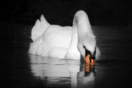 swans: cisne en el lago aislado en fondo negro Foto de archivo
