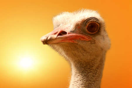 ostrich isolated on orange sky with sun photo