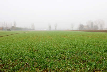 cornfield just sprouted in winter with foggy sky photo
