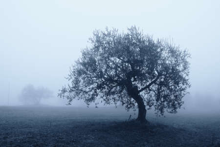 olive tree in october shrouded by the fog Stock Photo