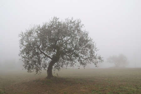 olive tree in countryside in winter photo