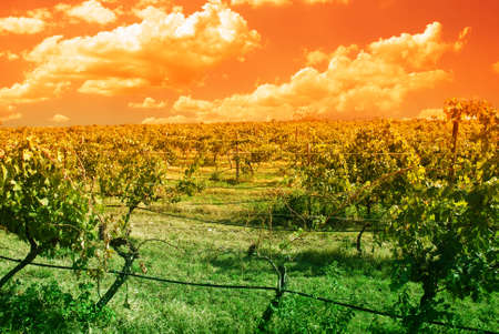 vineyard with amazing orange sky Stock Photo - 11804182