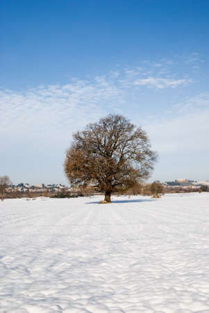 old oak in countryside in winter photo