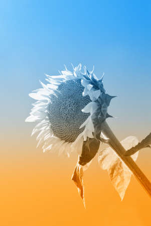 sunflower isolated under amazing sky photo