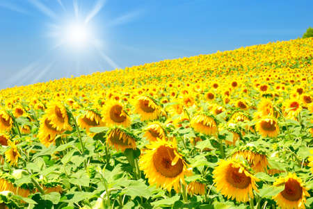 sun over field of sunflowers in summer Stock Photo - 12679299