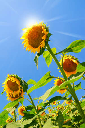 sun over field of sunflowers in summer photo