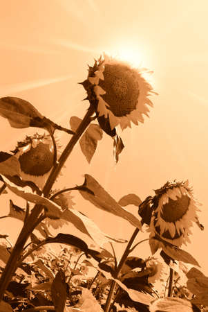 sunflower isolated under summer sun Stock Photo - 12910844
