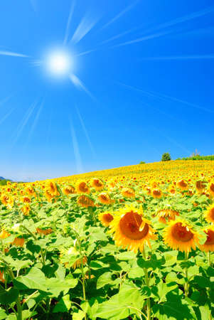 sun over field of sunflowers in summer Stock Photo - 12910846