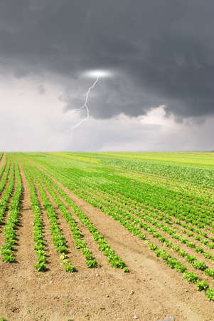 lightning in the sky over seedlings of lettuce in the field photo