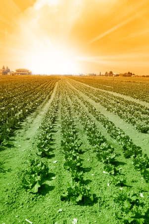 alface: nascer do sol sobre o campo de salada Banco de Imagens