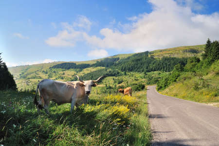 cow near the road in mountain photo