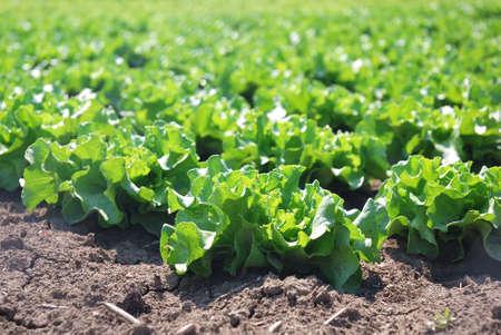 isolated plant of salad in countryside photo