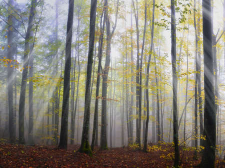 wood with fog and sunbeam Stock Photo - 16556746