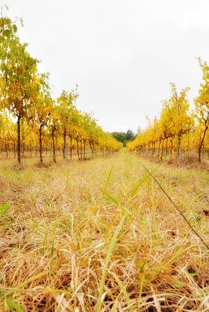 dreamy vineyard in october in italy photo