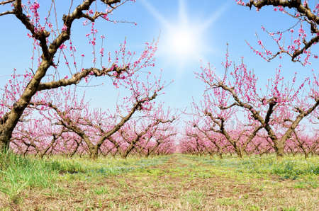 peach blossom in a  sunny day in march photo
