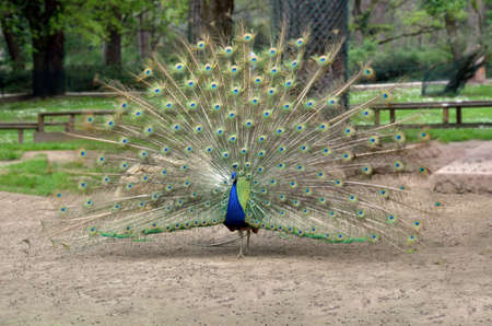 peacock wheel: peacock in the park making the wheel