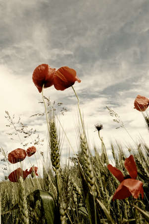 poppies inside grain field under cloudy sky photo
