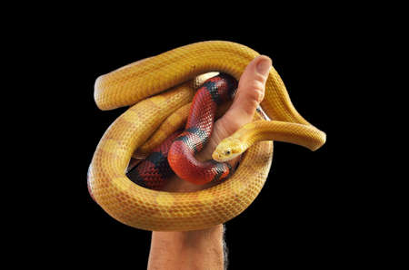 pair of colubrid snakes in hand photo
