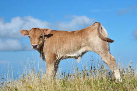 calf grazing on the hill in summer photo