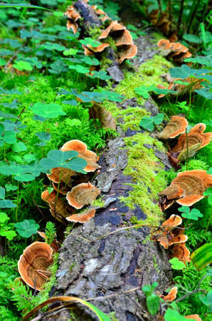 parasitic: Ganoderma lucidum ,  parasitic fungus over the trunk in the forest Stock Photo