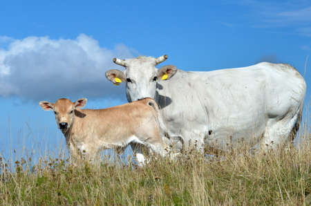 grazing cows with calf on the hill photo