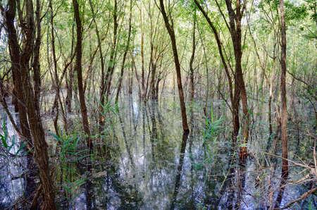 trees in the swamp in spring photo