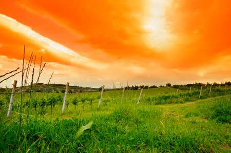 vineyard at sunset in spring photo