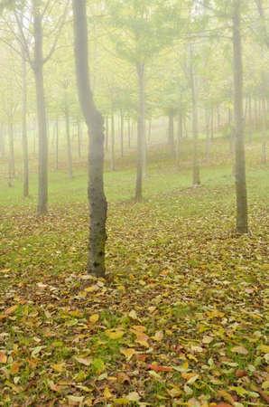 autmn: woods in autmn with fog Stock Photo