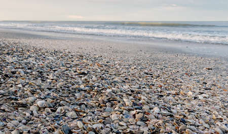 cockleshells: shoreline covered by many cockleshells