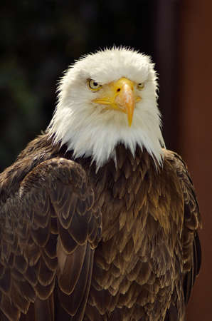 visions of america: portrait of American sea eagle in the natural park Stock Photo