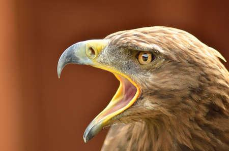 aigle royal: �tonnant portrait d'aigle royal dans le parc Banque d'images