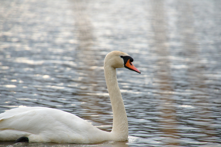 Single swan swimming on the shining and reflecting water