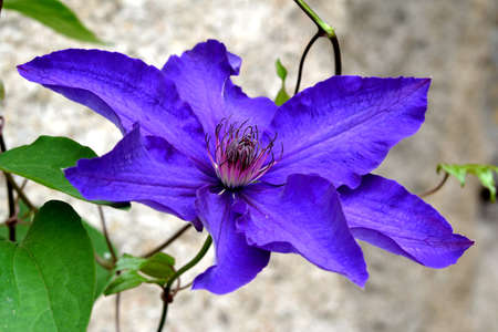 clematis flower: Clematis flower detail and background