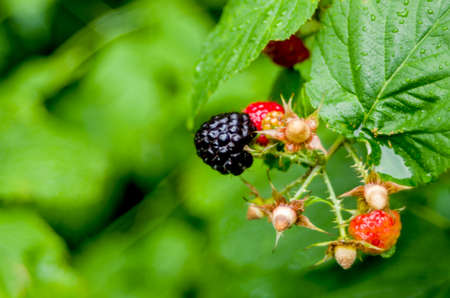 black raspberries: Growing red and black raspberries are very beautiful Stock Photo