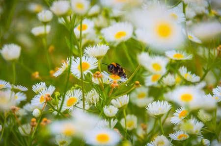 gathers: Al mattino calabrone raccoglie polline su un campo di margherite