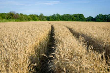 field crop: A wheat field, fresh crop of wheat.
