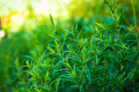tarragon: Good green tarragon in the morning dew
