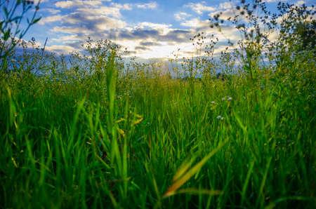 campo de margaritas: El campo de hierba con margaritas de campo en la madrugada