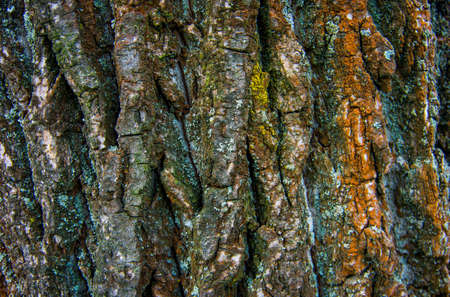 good quality: Texture of oak bark in the summer of good quality Stock Photo