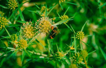 bombus: Bumblebee Bombus pascuorum on wheat summer thorns